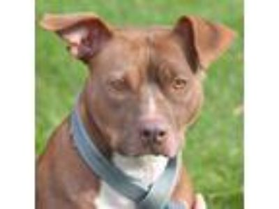 Adopt Connie a Brown/Chocolate - with White Labrador Retriever / American