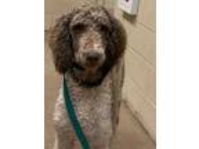 Adopt Woodford* a Brown/Chocolate Poodle (Standard) / Mixed dog in Anderson