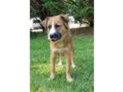 Adopt Freya a Brown/Chocolate - with White Retriever (Unknown Type) / Border