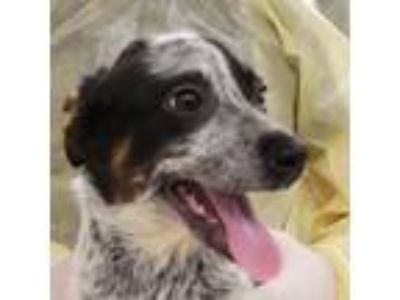 Adopt Lourdes a Black Australian Cattle Dog / Mixed dog in Menands