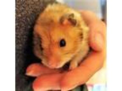 Adopt Nakia a Brown or Chocolate Hamster / Mixed small animal in Seattle