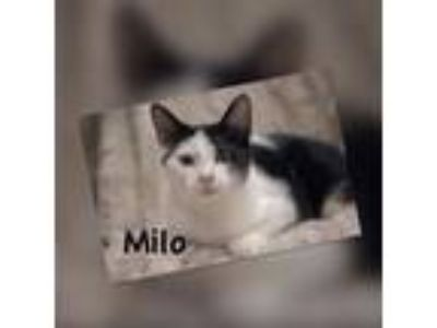Adopt MIlo - LOVES PEOPLE - VISIT ME AT THE CAT CAFE IN GARDENA a Domestic Short