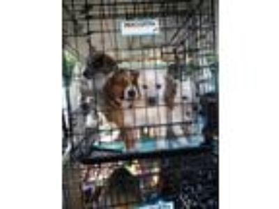 Adopt Lucy's Puppies! a Beagle