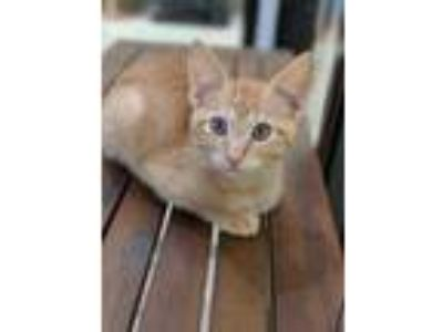 Adopt Biggs a Orange or Red Domestic Shorthair / Domestic Shorthair / Mixed cat