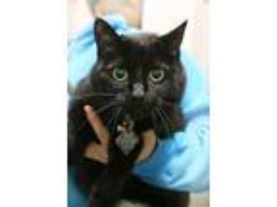 Adopt Analaise a Domestic Short Hair