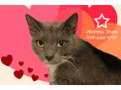 Adopt NORMA JEAN, MOVIE QUEEN? a Gray or Blue (Mostly) Domestic Shorthair (short