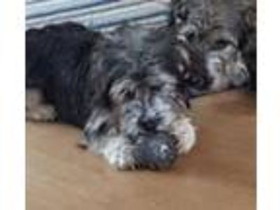 Adopt Sam & Dally (Bonded Pair) a Schnauzer, Cairn Terrier