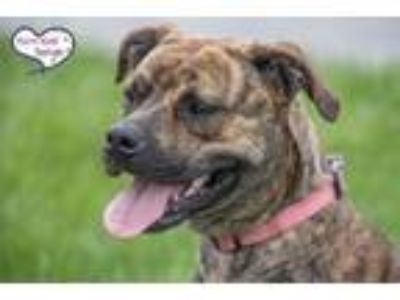 Adopt Sunshine a Brown/Chocolate Boxer / Terrier (Unknown Type