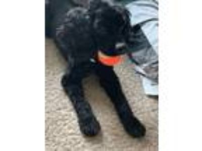 Adopt Miles a Black Cocker Spaniel / Anatolian Shepherd dog in Plant City