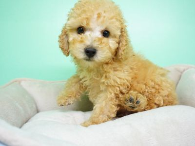 Maltipoo PUPPY FOR SALE ADN-105269 - Maltipoo Male Pita