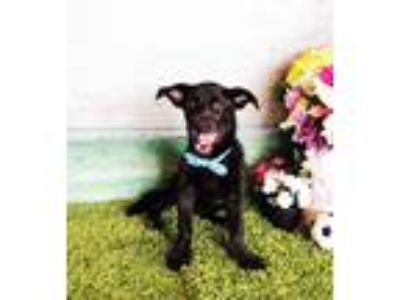 Adopt Phillip a Black Terrier (Unknown Type, Small) / Mixed dog in Castro
