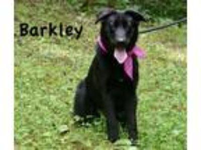 Adopt Barkley a Labrador Retriever, Shepherd