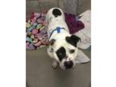 Adopt Dexter a White American Pit Bull Terrier / Mixed dog in South Elgin
