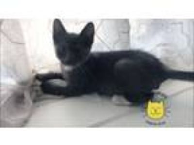 Adopt Blue a Domestic Short Hair, Chartreux