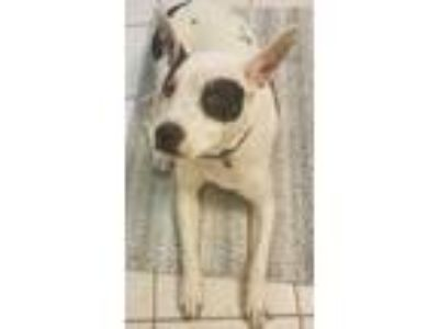 Adopt Kookie a White - with Black American Pit Bull Terrier / Labrador Retriever