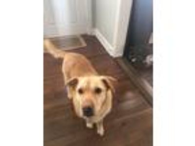 Adopt Maru a Tan/Yellow/Fawn Labrador Retriever dog in Cleona, PA (24765057)