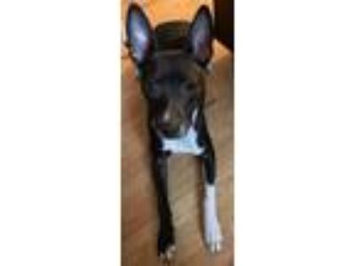 Adopt Bella a Black - with White Staffordshire Bull Terrier / Mixed dog in
