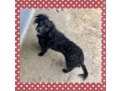 Adopt Ossi a Black - with White Dachshund / Mixed dog in Raleigh, NC (25267379)