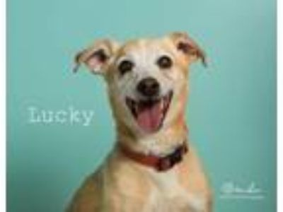 Adopt Luckie a Jack Russell Terrier