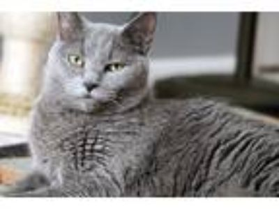 Adopt Mischief a Gray or Blue Russian Blue cat in Racine, WI (25218448)