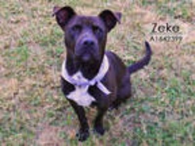 Adopt ZEKE a Black - with White American Pit Bull Terrier / Mixed dog in