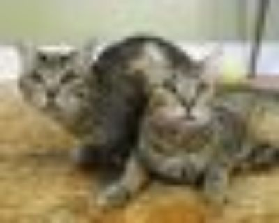 Ollie and Otis Tabby Cat