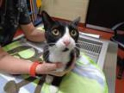 Adopt Tux a All Black Domestic Shorthair (short coat) cat in Douglasville