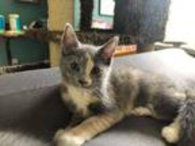 Adopt Twyla19 a Domestic Shorthair / Mixed (short coat) cat in Youngsville