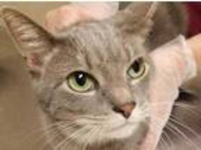 Adopt Sneezy a Gray or Blue Domestic Shorthair / Domestic Shorthair / Mixed cat