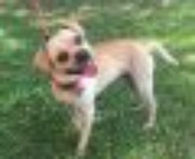 Reef Pug - Beagle Dog