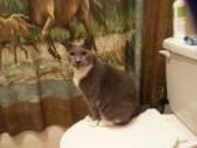 Adopt Josie a Gray or Blue (Mostly) American Shorthair (short coat) cat in St