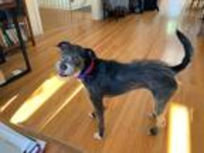 Adopt Lita a Tricolor (Tan/Brown & Black & White) Border Terrier / Schnauzer