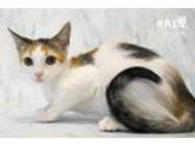Adopt Pastry a Domestic Short Hair