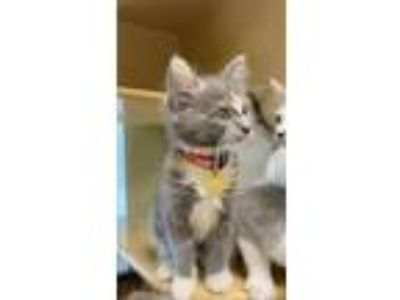 Adopt Chloe a Domestic Shorthair / Mixed cat in Madison, NJ (25583621)
