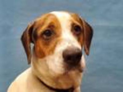 Adopt Trixie a Hound, Mixed Breed