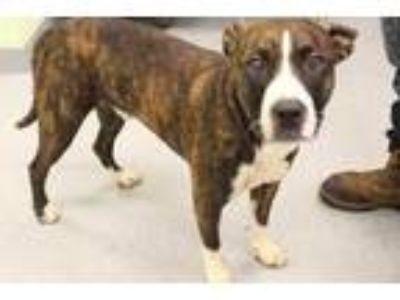 Adopt Landon a Brindle American Pit Bull Terrier / Mixed dog in Longview