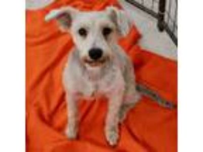 Adopt Oliver a Tan/Yellow/Fawn Terrier (Unknown Type, Small) dog in Island Park