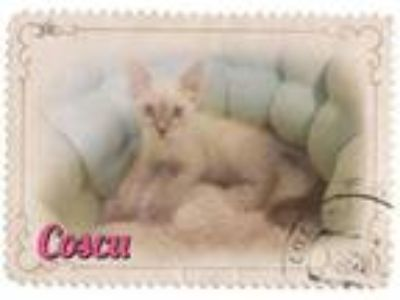 Adopt Coscu - I am From Puerto Rico a Siamese
