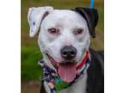 Adopt Lady a Black Boxer / American Staffordshire Terrier / Mixed dog in