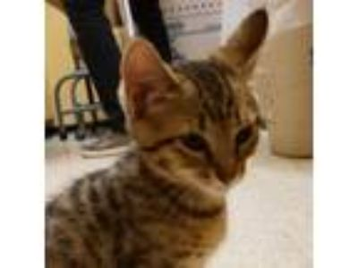 Adopt Luna Lovegood a Brown or Chocolate Domestic Shorthair / Domestic Shorthair