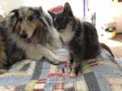 Adopt Martina a Tortoiseshell Domestic Longhair (long coat) cat in North