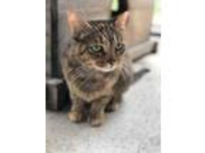 Adopt Ellie a Brown or Chocolate Domestic Shorthair / Domestic Shorthair / Mixed