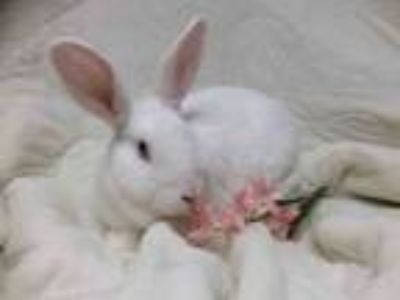 Adopt SALLY BROWN a Bunny Rabbit