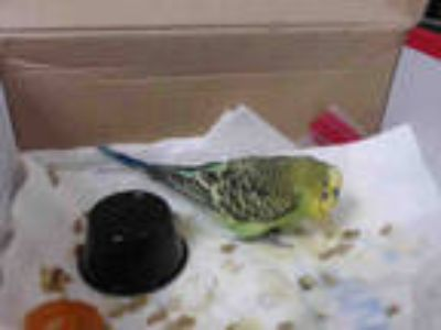 Adopt a Green Parakeet - Other / Mixed bird in San Francisco, CA (25315769)