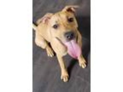 Adopt Mackie a Tan/Yellow/Fawn Boxer / Shepherd (Unknown Type) / Mixed dog in