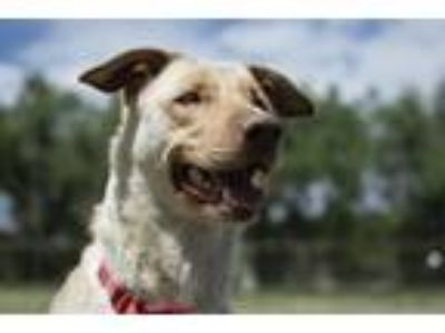 Adopt HONEY BUNCHES OF OATS a German Shepherd Dog, Labrador Retriever