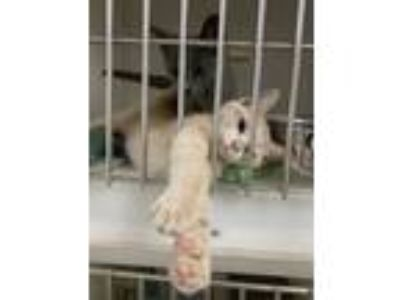 Adopt Orbit a Gray or Blue Domestic Shorthair / Domestic Shorthair / Mixed cat