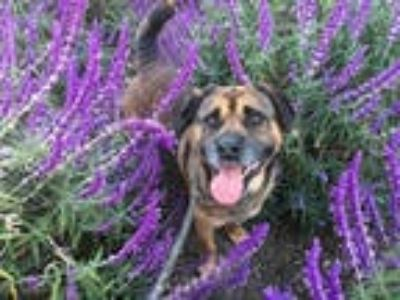 Adopt LUCAS a Brown/Chocolate - with Black German Shepherd Dog / Mixed dog in