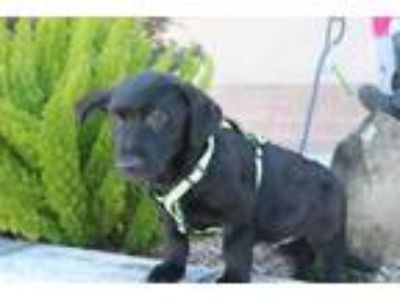 Adopt Boo GC a Black Dachshund / Labrador Retriever / Mixed dog in Von Ormy