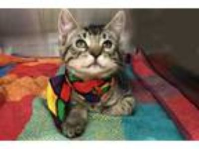 Adopt Ming a All Black Domestic Shorthair / Domestic Shorthair / Mixed cat in